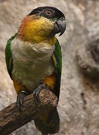 Pionites melanocephalus -Jurong Bird Park-8a
