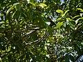Pittosporum wightii (17100751170).jpg