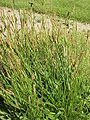 Plantago lanceolata0.jpg