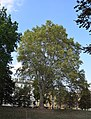 Platano comune Giardini Cavour.jpg