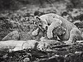 Playful cub from the Cheli pride @ Masai Mara (21848129250).jpg