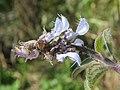 Plectranthus barbatus from Ooty (10).jpg