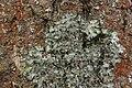 Pleurosticta acetabulum (41047795242).jpg