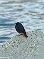 Plumbeous Water Redstart (Rhyacornis fuliginosa) (15931686894).jpg