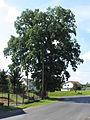 Podluhy, protected oak tree.jpg