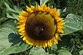 Poertschach Zehnte Oktober Strasse 65 Sonnenblume 12082015 1347.jpg