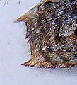 Pogonocherus hispidulus detail.jpg