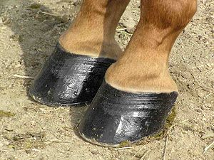 The hooves of a horse that have black hoof pol...