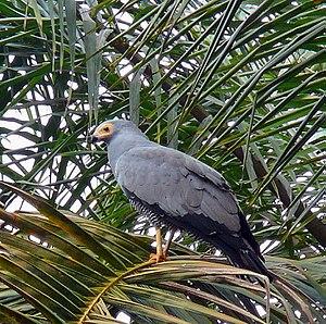 Wildlife of Sierra Leone - African harrier hawk