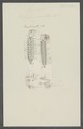 Polynoe cirrata - - Print - Iconographia Zoologica - Special Collections University of Amsterdam - UBAINV0274 102 02 0021.tif