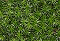 Polytrichum commune - geograph.org.uk - 652906.jpg
