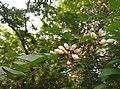 Pongamia pinnata flower புங்கை மரம்.jpg