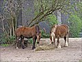 Ponies near Digswell Viaduct, near Welwyn Garden City, Hertfordshire - geograph.org.uk - 163408.jpg