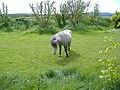 Pony near Ballawhetstone - geograph.org.uk - 169525.jpg
