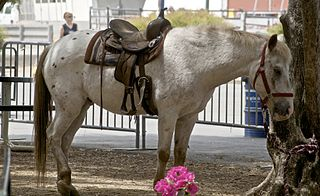 Pony of the Americas American breed of horse