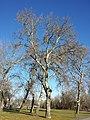 Populus alba sl3.jpg