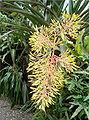 Portea leptantha Inflorescence BotGardBln0806.jpg