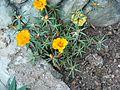 Portulaca grandiflora (357111553).jpg
