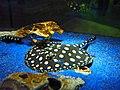 Potamotrygon leopoldi, Sunshine Aquarium.jpg