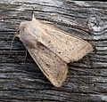 Powdered Quaker. Orthosia gracilis - Flickr - gailhampshire.jpg