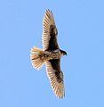 Prairie Falcon Falco mexicanus (7054314025) (cropped).jpg