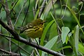 Prairie Warbler (male) Fall Out Sabine Woods TX 2018-04-08 08-58-56-3 (40771984564).jpg