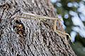 Praying mantis on eucalypt.jpg