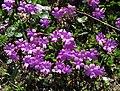 Primula integrifolia 2 RF.jpg