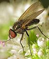 Probably Botanophila fugax (15126751750).jpg