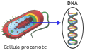 Prokaryote DNA-it.svg