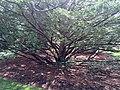 Prospect House Garden, Japanese Yew Tree.jpg