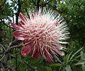 Protea caffra, oop blomhoof, Voortrekkermonument-NR, b.jpg