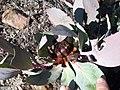 Protea recondita vynbos iNat16257464c.jpg