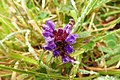 Prunela (Prunella vulgaris) (14765106513).jpg
