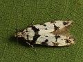 Pseudotelphusa scalella (40197610714).jpg