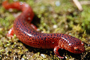 Pseudotriton ruber - Red Salamander.jpg