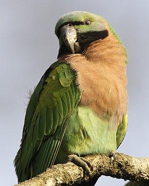 Red-breasted parakeet - Image: Psittacula alexandri Assam India 8