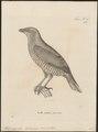 Ptilonorhynchus holosericeus - 1700-1880 - Print - Iconographia Zoologica - Special Collections University of Amsterdam - UBA01 IZ16400221.tif