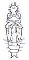 Ptinus Gynopterus pupa Reitter.png