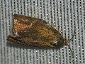 Ptycholoma lecheana - Leche's twist moth - Листовёртка-толстушка свинцовополосая (41311647511).jpg
