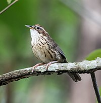 Puff-throated Babbler (14522913494).jpg