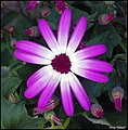 Purple . (4548456183).jpg