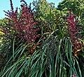 Puya dyckioides 1.jpg