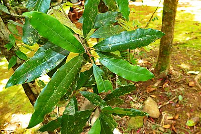 Pycnandra acuminata 01 -BH- Feuilles.jpg