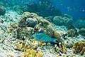 Queen parrotfish Scarus vetula (4676844334).jpg