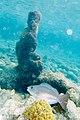 Queen parrotfish Scarus vetula (4686630618).jpg
