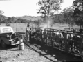 Queensland State Archives 1672 Spraying cattle c1950.png