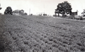 Queensland State Archives 4169 Lucerne on Mr A Cooks Farm Maleny c 1930.png