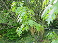 Quercus coccinea2.jpg