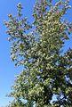 Quercus lobata kz2.jpg
